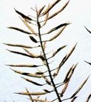 récolte colza